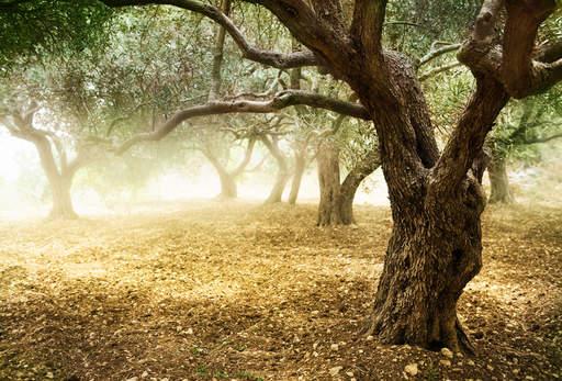 olive tree 111961914991